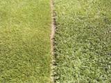 持続性に優れた芝